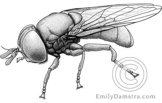 Illustration of fly Cepa margarita