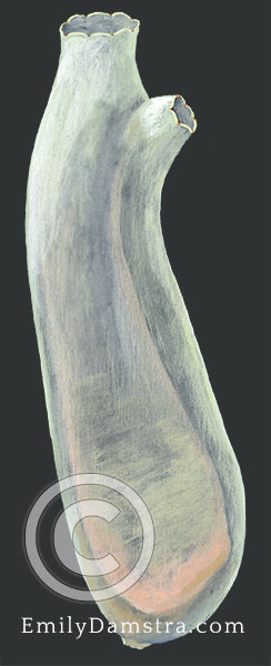 Vase tunicate illustration Ciona intestinalis