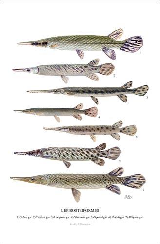 Lepisosteiformes print