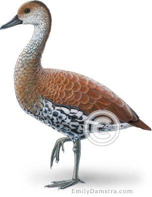 West Indian whistling duck illustration Dendrocygna arborea