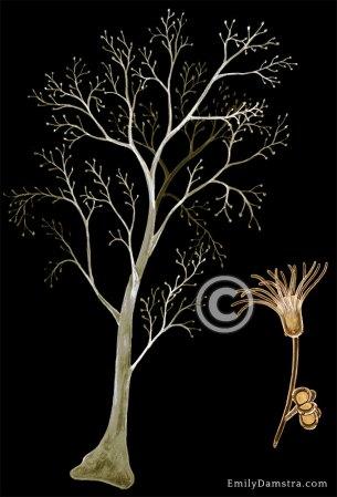 Eudendrium glomeratum – Emily S. Damstra