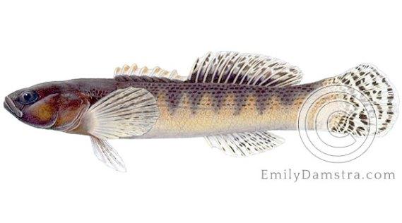 Fantail darter Etheostoma flabellare illustration