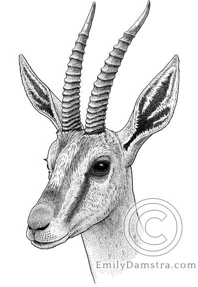 Illustration of Cuvier's gazelle Gazella cuvieri