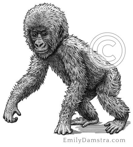 Illustration of juvenile Mountain gorilla Gorilla beringei beringei
