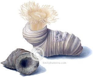 Devonian coral Heliophyllum halli