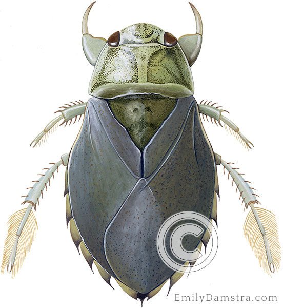 Saucer bug illustration Ilyocoris cimicoides