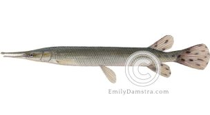 Shortnose gar illustration Lepisosteus platostomus