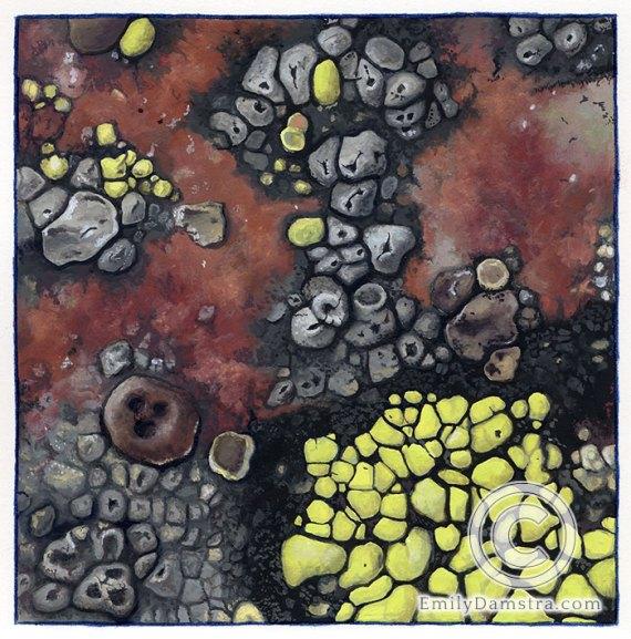lichens Acarospora fuscata, Aspicilia ceasiocinerea, Rhizocarpum geographicum