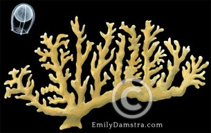 Sea ginger illustration Millepora alcicornis