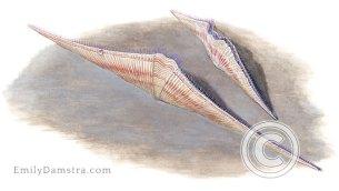 Devonian brachiopod fossils Mucrospirifer arkonensis