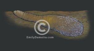 Sandfinger illustration Pelonaia corrugata