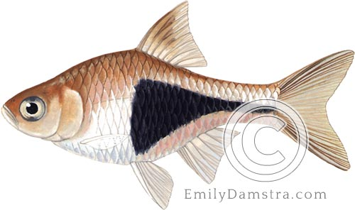Illustration of Harlequin rasbora illustration Rasbora heteromorpha