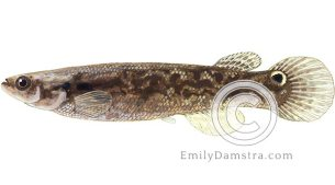 Mangrove killifish illustration Kryptolebias marmoratus