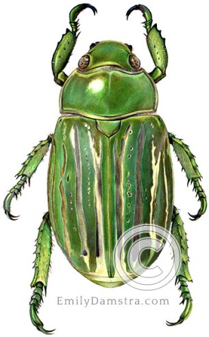 Green scarab beetle illustration