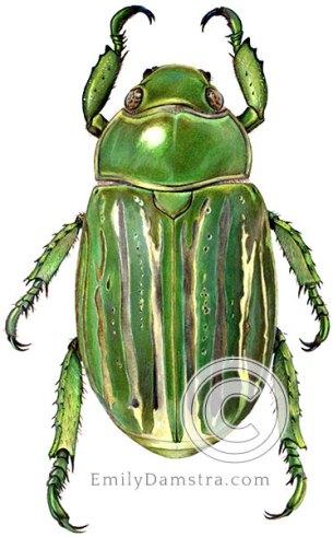 Green scarab beetle illustration