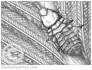 Illustration of Gary Larson's louse Strigiphilus garylarsoni