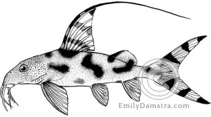 Clown synodontis illustration Synodontis decorus