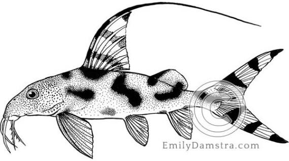 Clown synodontis illustration Synodontis decorus