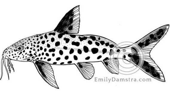 Cuckoo catfish illustration Synodontis multipunctatus