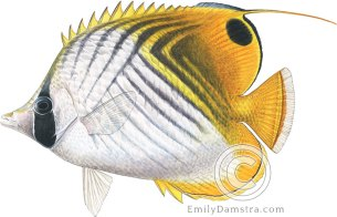 Threadfin butterflyfish – Emily S. Damstra