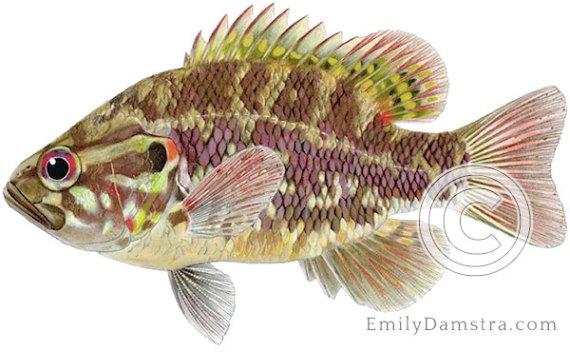 Warmouth sunfish Lepomis gulosus illustration
