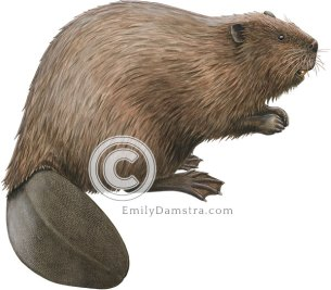 North American beaver illustration Castor canadensis
