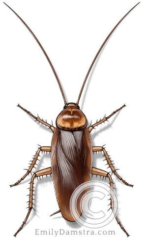 American cockroach illustration Periplaneta americana