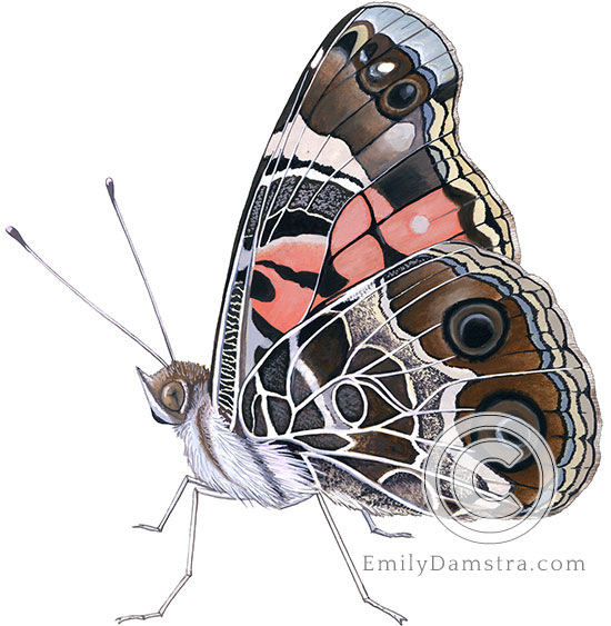 American lady butterfly illustration Vanessa virginiensis