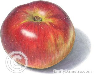 Baldwin apple – Emily S. Damstra