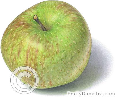 Oldenburg apple illustration
