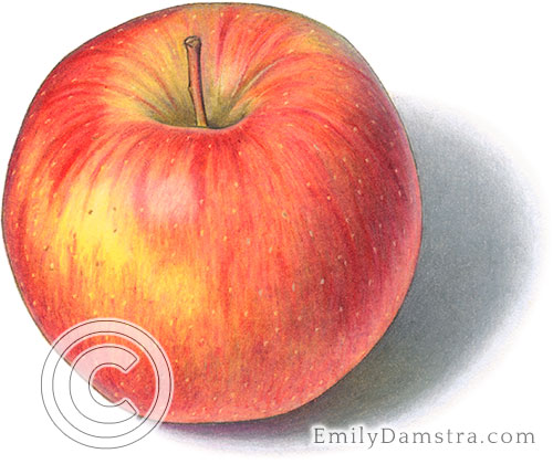 Ambrosia apple illustration