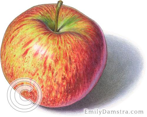 Cortland apple illustration