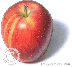 Gala apple illustration