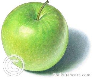 Granny Smith apple illustration