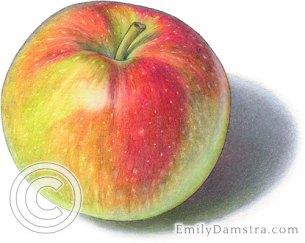 Macintosh apple illustration