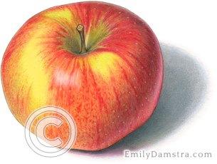 Northern spy apple illustration