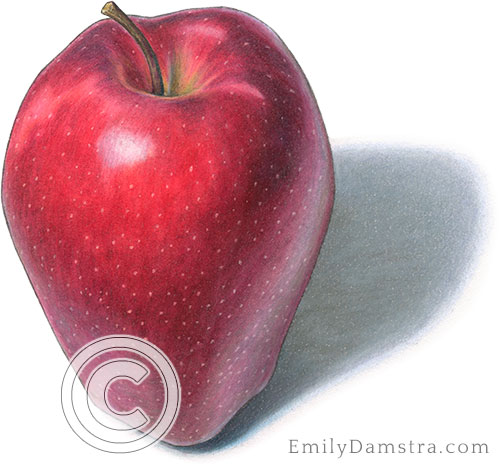 Red delicious apple illustration