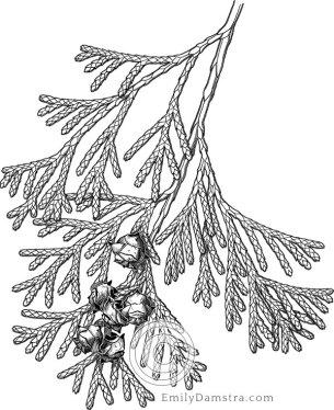 Atlantic white cedar illustration Chamaecyparis thyoides
