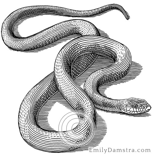 Black rat snake illustration Elaphe obsoleta