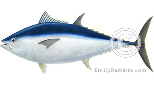 Bluefin tuna illustration Thunnus thynnus