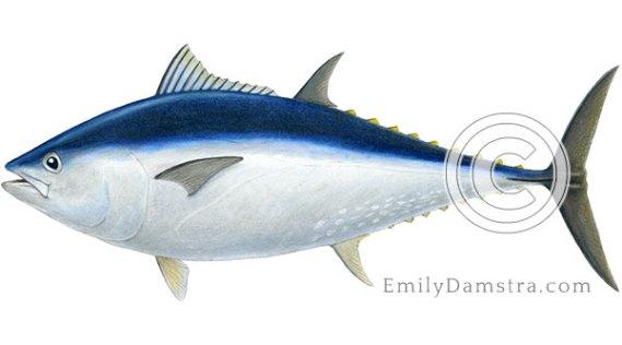 Bluefin tuna illustration Thunnus thynnus