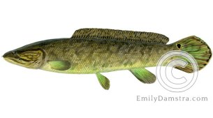 bowfin amia calva illustration