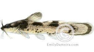 Brindled madtom illustration Noturus miurus