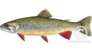 Brook trout – Emily S. Damstra