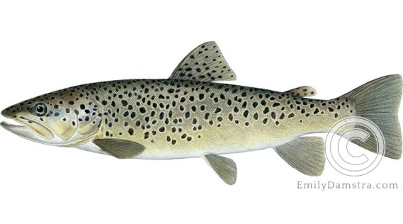 brown trout salmo trutta illustration