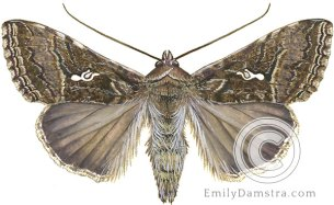 Cabbage looper moth Trichoplusia ni illustration