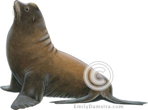 Illustration of California sea lion male Zalophus californianus