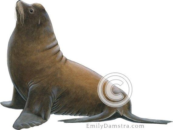 Illustration of California sea lion male Zalophus californianus