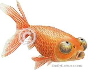 Celestial eye goldfish illustration