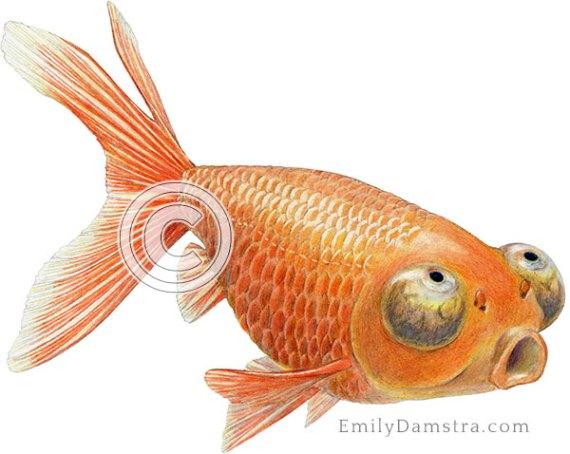 Celestial eye goldfish illustration